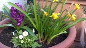 Flowerpot With Daffodils