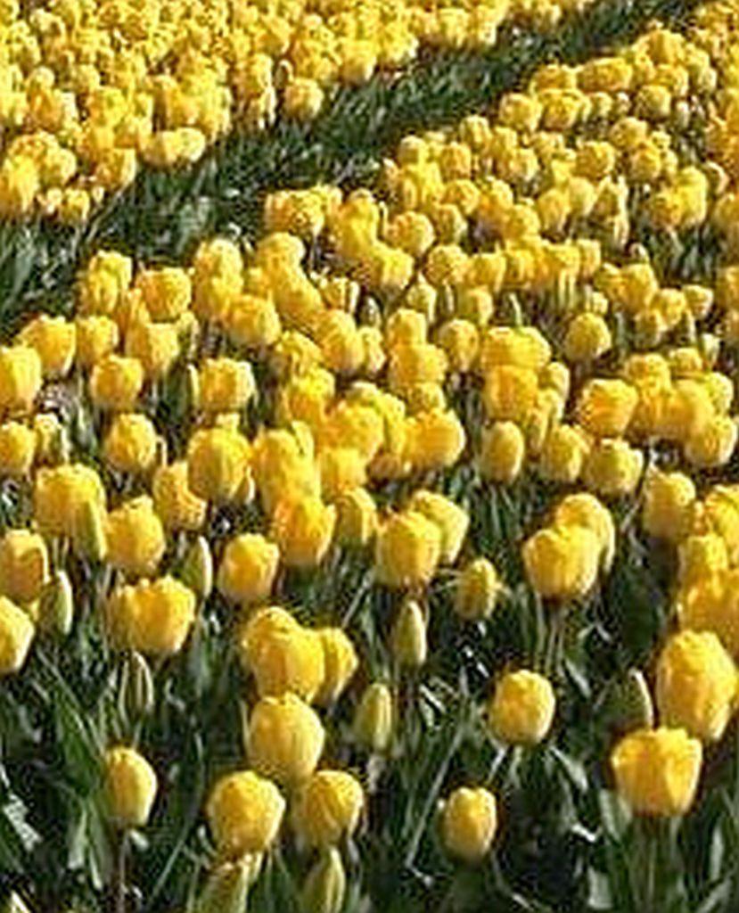 Tulips' Invasion
