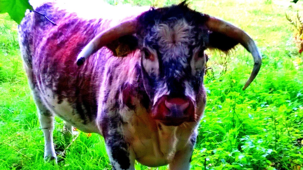 English Longhorn eye-to-eye